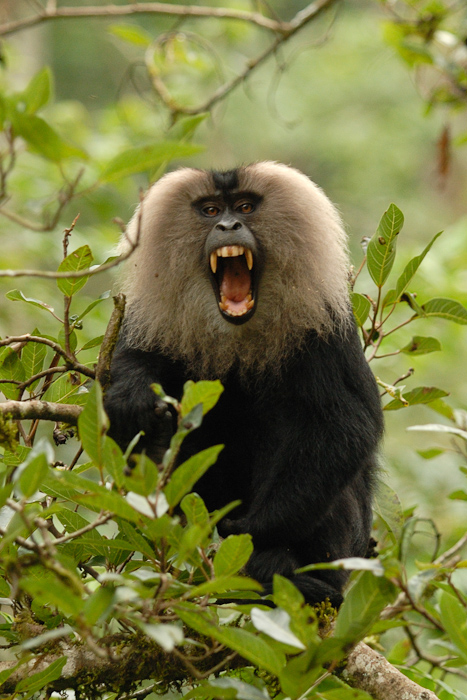Lion Tailed Macaques Knights Of The Rainforests