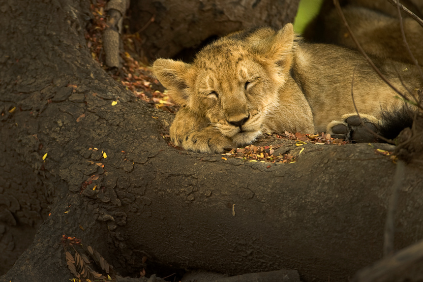 Lion cub