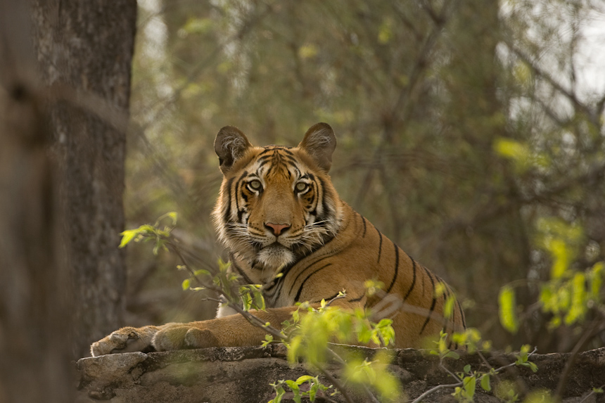Tiger in Tadoba