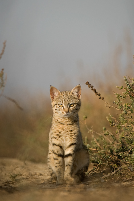Desert cat in Kutch
