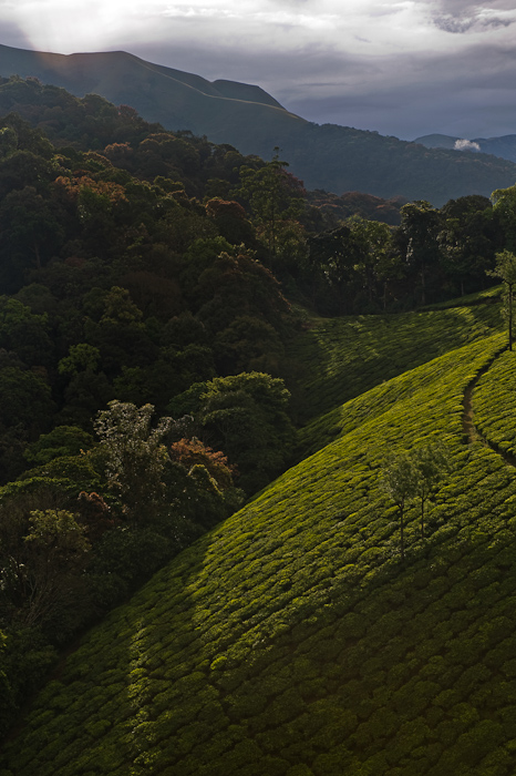 Many tea estates were developed in areas replacing rich tropical rainforests and shola-grasslands in the Western Ghats. Although they have created hard edges, the plantation landscapes are still used by many species of birds and mammals.