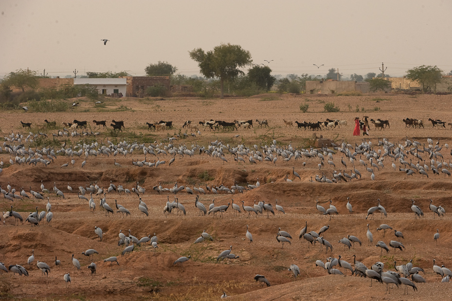 Many communities across India have been actively fostering animals, like the protection of Demoiselle Crane Anthropoides virgo in the small town of Keechan, Rajasthan.