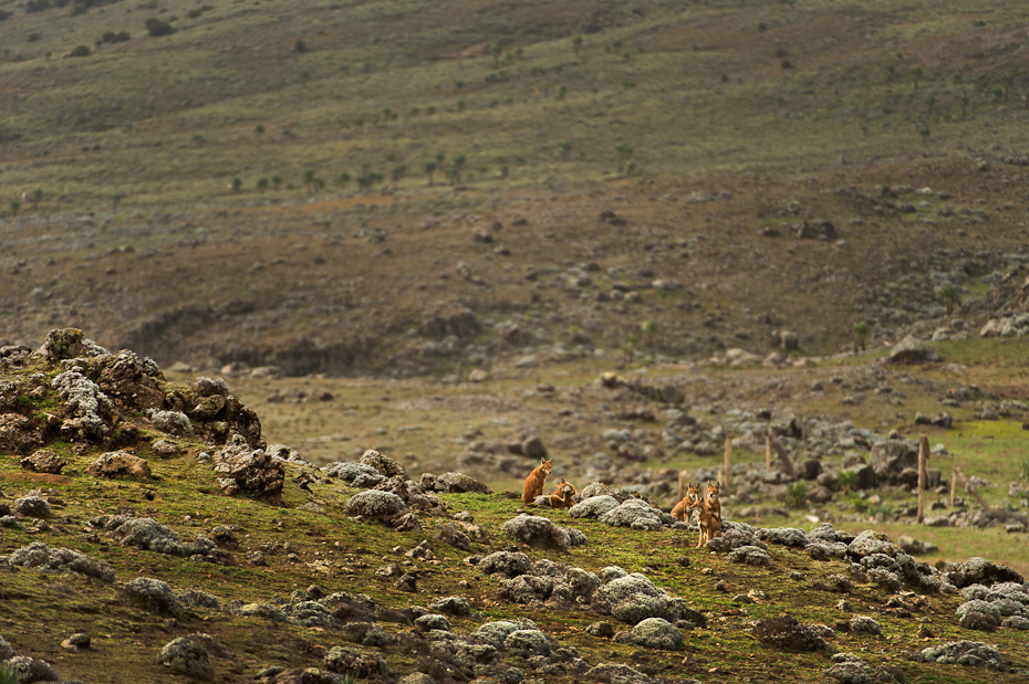 These elegant and long-legged Ethiopian wolves Canis simensis are only found in a handful of locations in the highlands of Ethiopia. Some 500 survive today in small, isolated populations, threatened by loss of highland habitats, disease spread by domestic dogs, hybridisation and persecution.