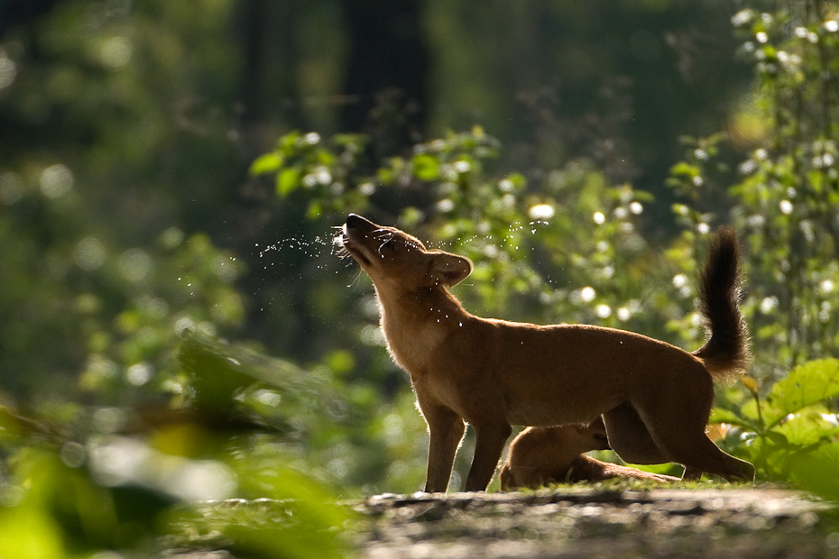 Wild dogs or dhole Cuon alpinus are the master predators of the Indian jungle, far more successful than tigers and leopards. They hunt in packs, often communicating with other members with a whistling call.