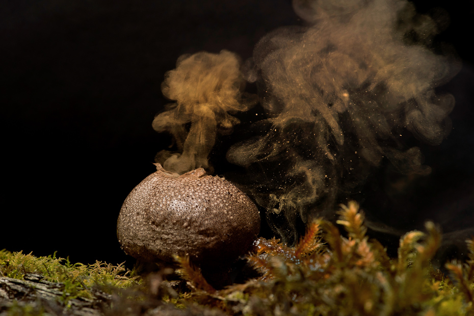 Spores coming out of a puff-ball fungus. These tiny spores get dispersed whenever raindrops fall on it.
