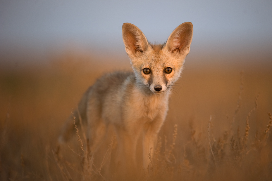 A desert fox Vulpes vulpes pup, curiously stares at the noise of the camera shutter.