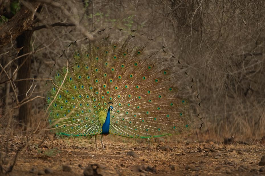 The Indian Peafowl Pavo cristatus is a symbol of Indian jungles, culture, and mythology. The male peacock dances displaying the exuberant colours on its extraordinarily long tail-feathers.