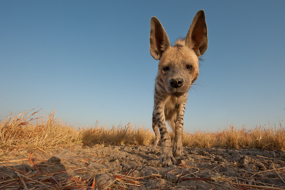 The rare and elusive striped hyena Hyaena hyaena is one of the major predators in the arid regions of India.