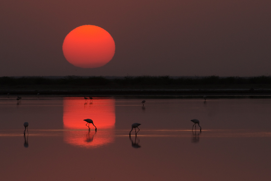 Last feeding session by a flock of flamingoes as the sun sets in the Little Rann of Kutch.