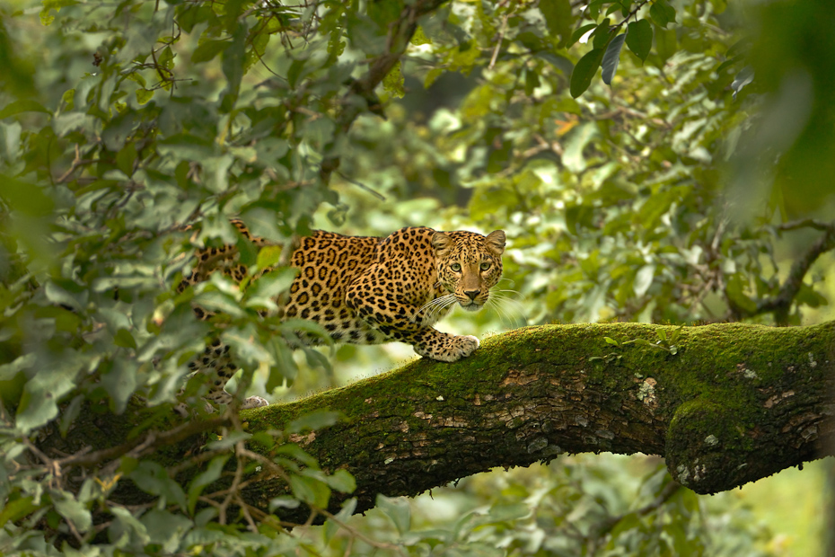 Although the leopard Panthera pardus is known to be the most adaptable and the widespread of the large wild cats, its shy and elusive nature keeps it nearly invisible. It is one of the strongest big cats able to kill and haul prey many times its size up the trees to avoid other carnivorous competitors.