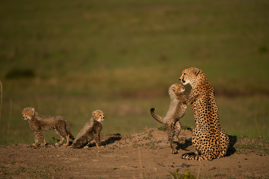 Three cheetah cubs come to greet their mother. Cheetah mothers have to be extra vigilant in order to protect their cubs as they are easy prey both for predators from above (raptors) and on the ground (lions).