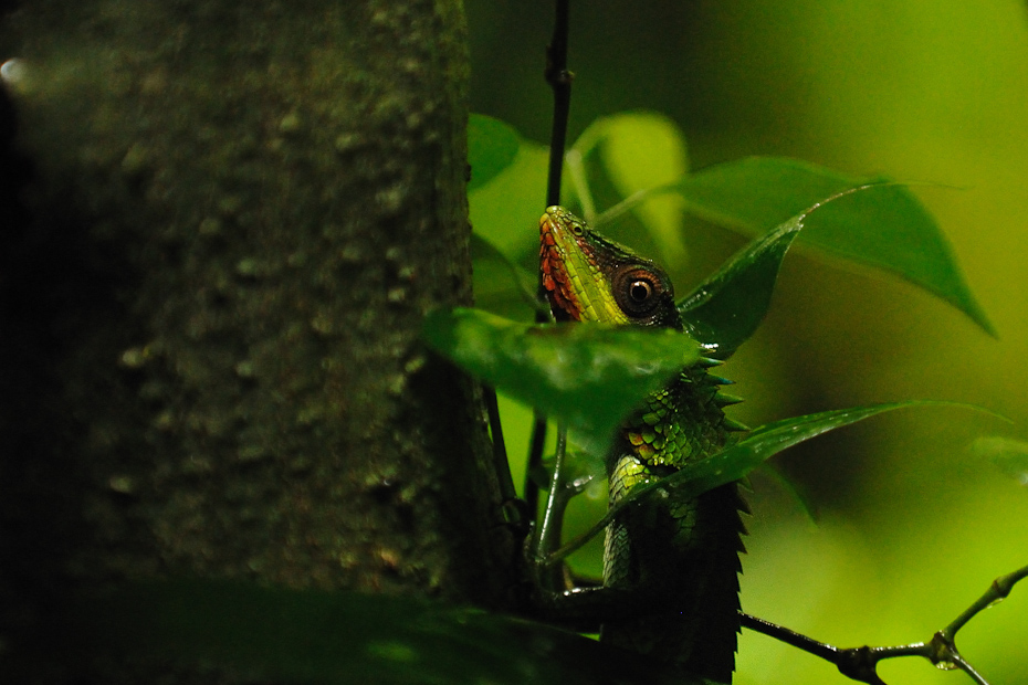 The large-scaled forest lizard Calotes grandisquamis is one of the agamids found in tropical rainforests of the Western Ghats.