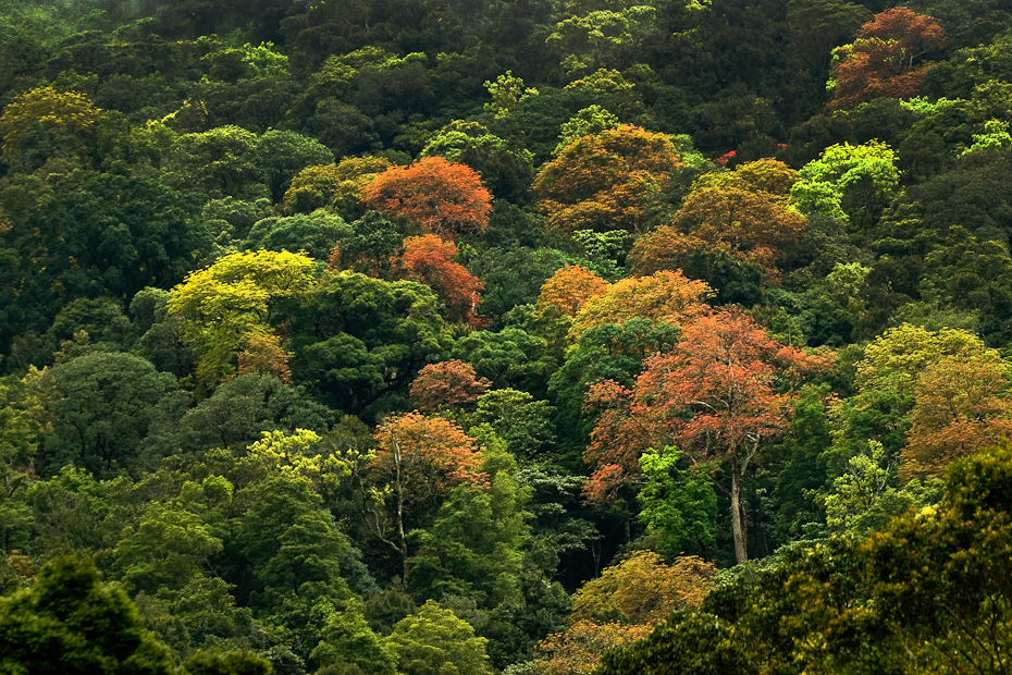 The rainforest canopy in a riot of colours in spring. Western Ghats is known for its high diversity of plants (over 5000 species of angiosperms), most of which are found in the rainforests.