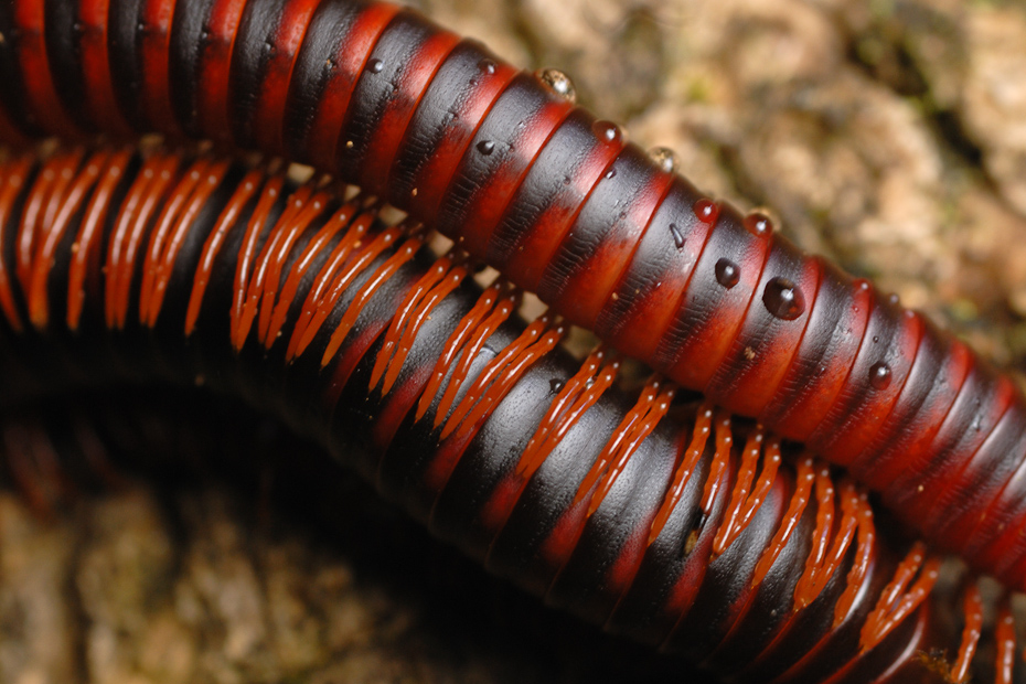 Millipedes are one of the oldest living creatures on earth. Their bright colours are a warning signal to the predators of their toxicity.