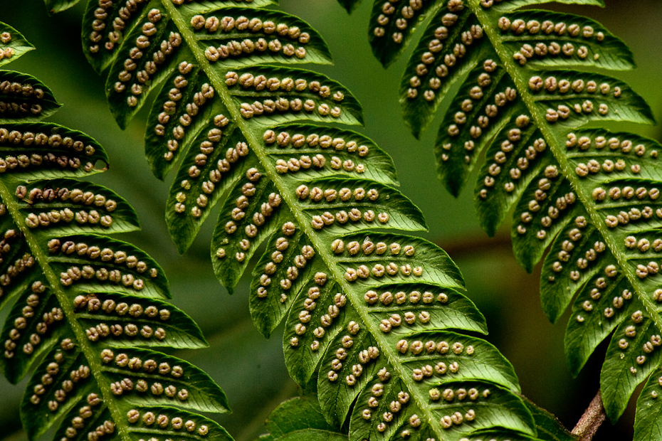 Ferns are primitive plants that have dominated the earth from the times of the dinosaurs. They are very diverse and are found in humid forests. They propagate by producing spores that are placed in packets called sori, usually forming amazing, species-specific patterns on the underside of the leaves.