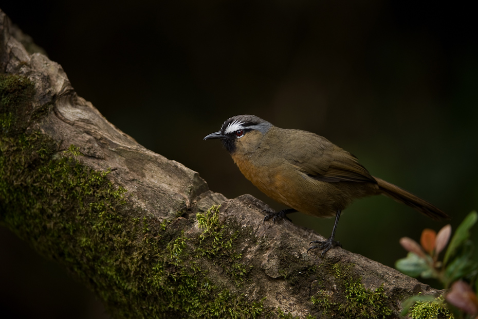 The Black-chinned Laughingthrush Garrulax cachinnans, earlier also known as the Nilgiri Laughingthrush is one of the many endemic and restricted range bird species of the Western Ghats.