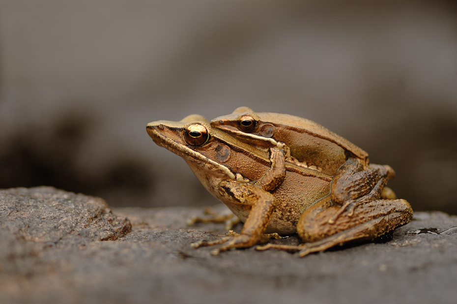 A mating pair of bronze frogs Hylarana temporalis. The male is noticeably smaller than the female. After mating, the female lays eggs within a few hours in a river or a pond where the tadpoles develop.