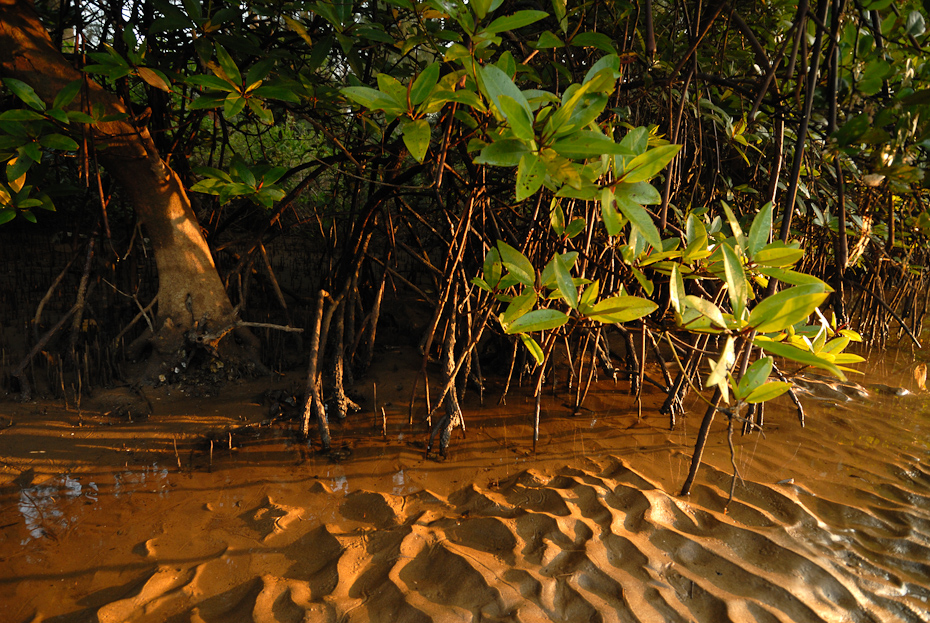 Mangroves like seen in Karwar, Karnataka, are an important feature of coastlines. It stabilizes and prevents soil erosion along the coasts and also acts as nursery grounds for many marine organisms.