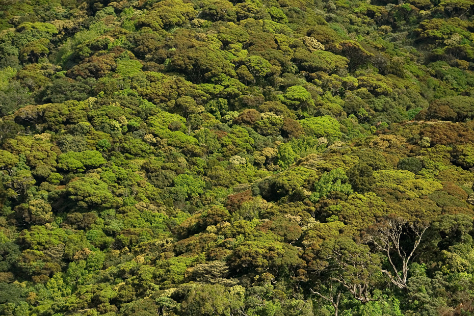 The thick canopy scape of a shola forest in Mukurti National Park, Tamil Nadu, Western Ghats.