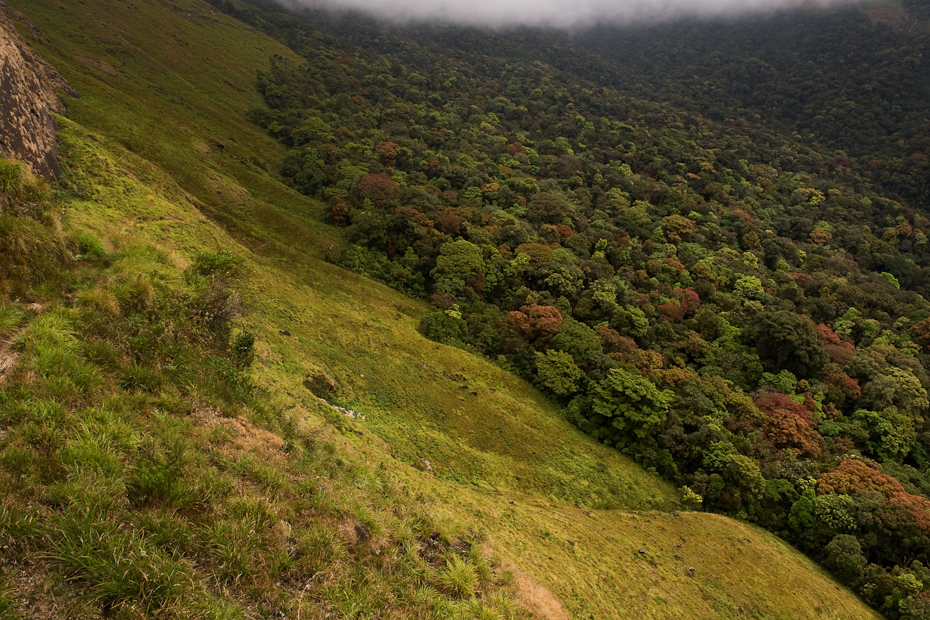 The transition of wet evergreen forests into shola-grasslands in the high altitudes (1500m), Anamalais, Tamil Nadu, Western Ghats.