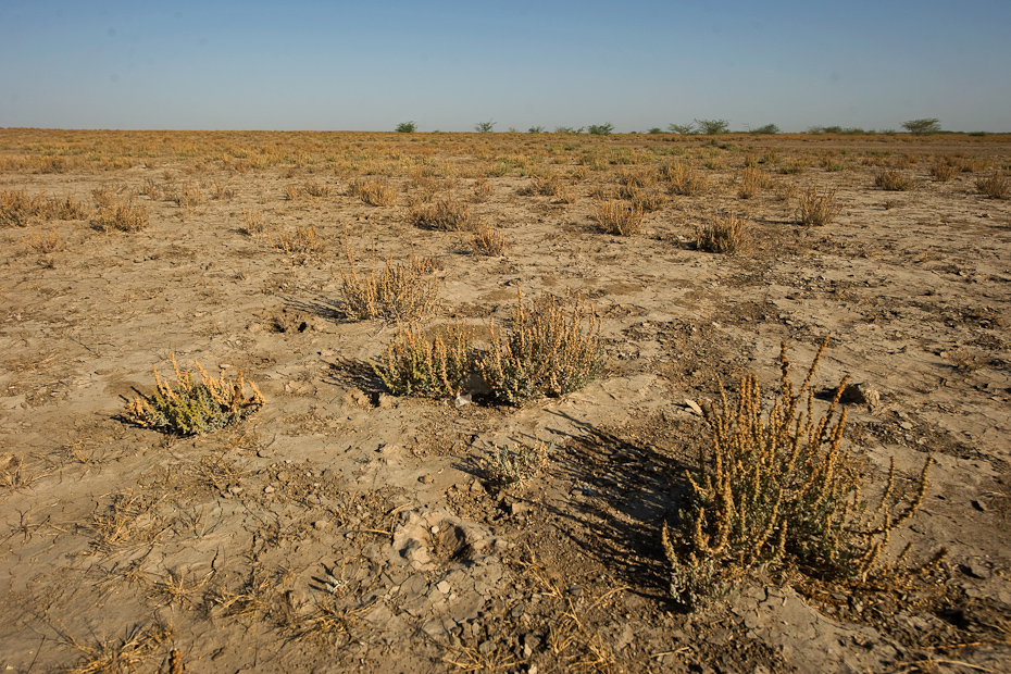 Suaeda bushes, a salt-tolerant plant in Rann of Kutch, Gujarat. They are the primary food for many herbivores in this region, where vegetation is quite sparse due to the alkaline nature of the soil.