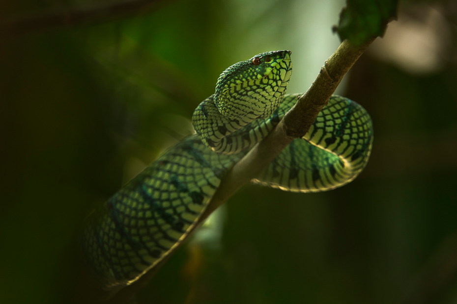 Wagler's Pit Viper Tropidolaemus wagleri along the Kinabatangan river. This is an arboreal pit viper seen in primary forests, mature secondary forests and mangroves in Southeast Asia. It is active by night and by day it can be seen lying coiled high up in the trees.