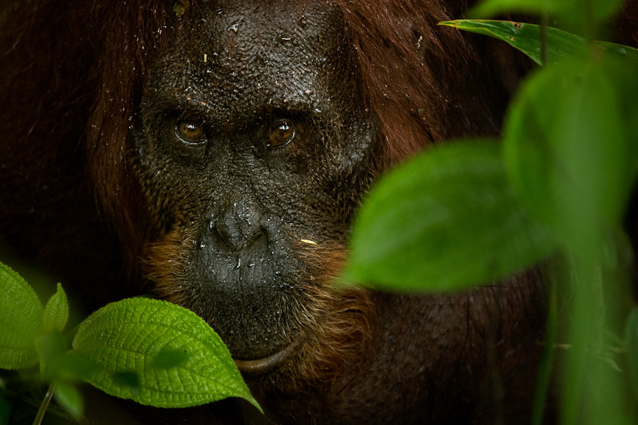 The orangutan Pongo pygmaeus is the only great ape found in Asia. The Malay word 'orangutan' means 'person of the forest'. These orange-coloured, longhaired primates now occur only in the rainforests of Sumatra and Borneo.