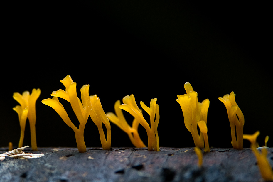 With a jelly-like fruiting body, the Calocera fungi grow on damp, dead wood. Fungi decompose dead plant and animal matter and assist in nutrient cycling of important elements like carbon and nitrogen back into the environment.