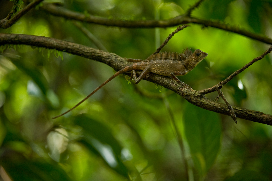 A Bornean angle-head lizard or combed arboreal lizard Gonocephalus bornensis is an endemic agamid found in Imbak Conservation Area, Borneo.