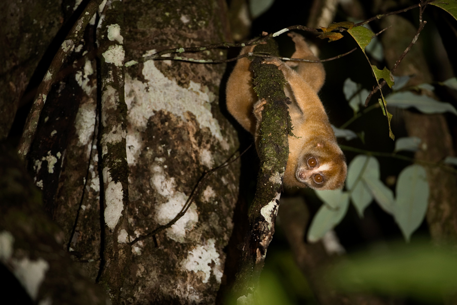 This Bornean slow loris Nycticebus menagensis in the forests along the Kinabatangan river is an endemic, nocturnal primate found in rainforests, secondary forests and mangroves of Borneo. There are eight known species of slow loris in South and Southeast Asia.