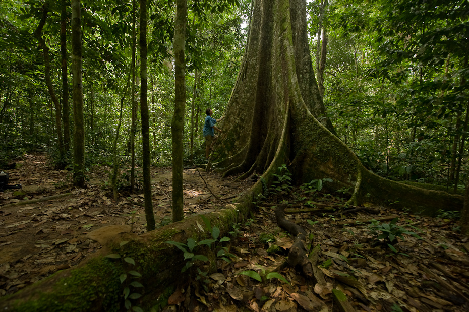 A typical, large, buttressed tree in the tropical rainforests of Borneo. These not only harbour and support a diversity of other species of plants and animals, but are also a gateway to exploring the canopy of the forests around them.