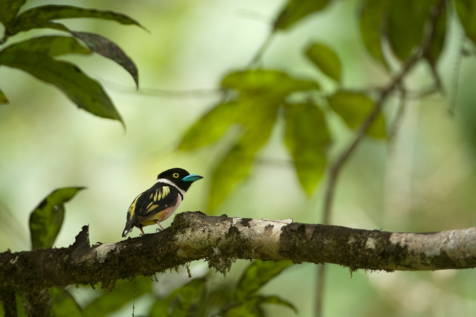 Black-and-yellow Broadbill Eurylaimus ochromalus in the tropical rainforests of Borneo.  Southeast Asia hosts a diversity of broadbills.