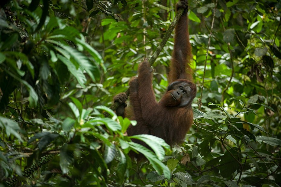 With arms spanning seven feet (2 meters) from fingertip to fingertip, orangutans are well-suited for a life in the trees of tropical rainforests in Southeast Asia. They are the most arboreal of the four great apes in the world.