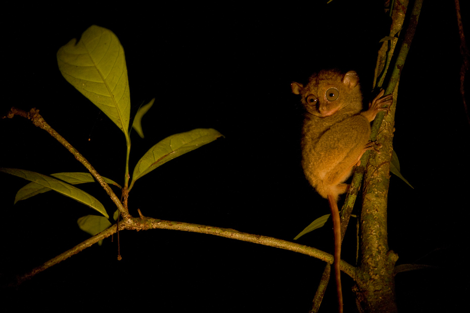 The Western tarsier Cephalopachus bancanus is a small, nocturnal, primitive primate found in the dense forests of Borneo. Tarsiers inhabit a number of islands in Southeast Asia. The tarsier gets its name from the unusually long ankle or tarsal bone that it possesses. This skeletal modification enables it to jump distances more than 40 times its own body length.