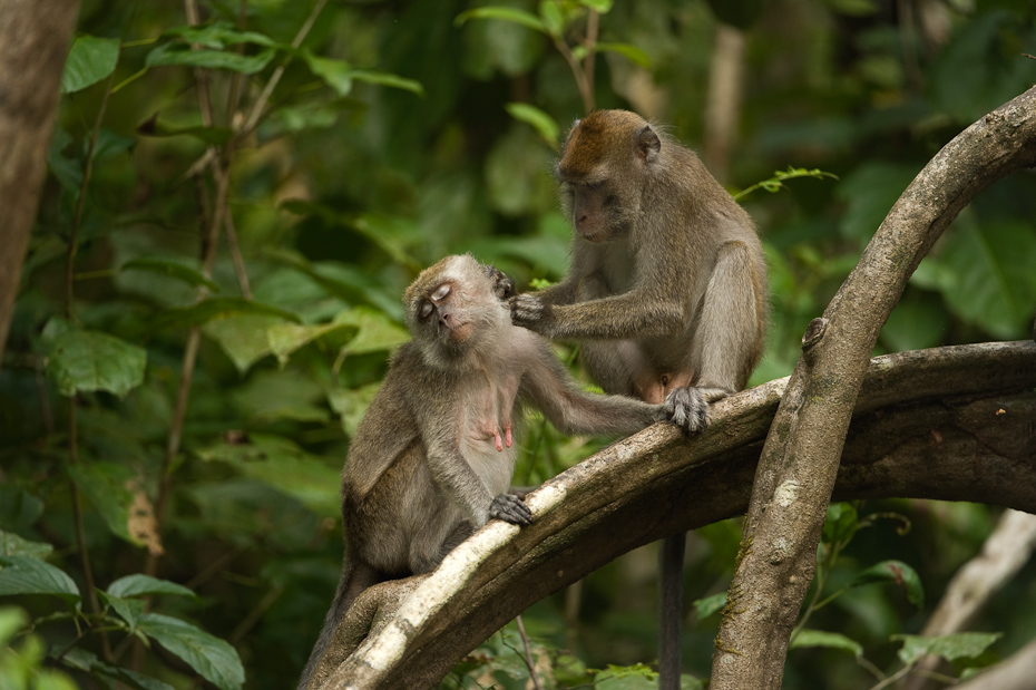 A grooming session between a male and female long-tailed macaques Macaca fascicularis along the Kinabatangan river. This species is widely distributed in South and Southeast Asia. They are also known as the crab-eating macaques.