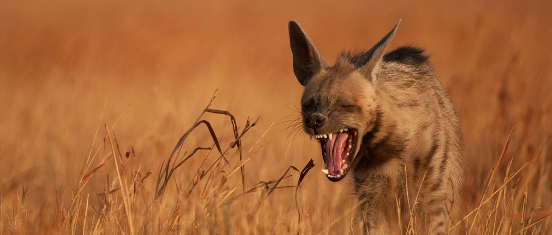 Revenge of the Hyena