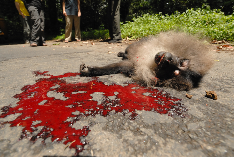 Lion-tailed Macaque  - Roadkill