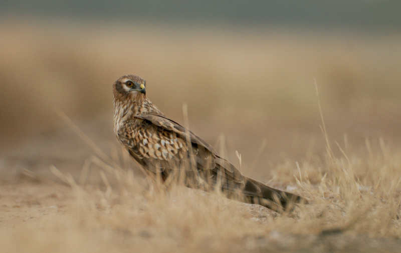 Montagu's Harrier - Female