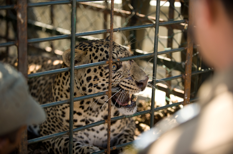 Leopard Capture