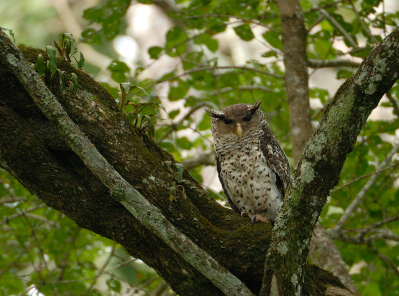 Spot-bellied eagle owl